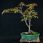 Japanese Green Maple Kifu Bonsai Tree Acer Palmatum  2481