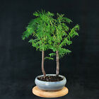 Chinese Dawn Redwood Shohin Bonsai Tree Metasequoia glyptostroboides  3502