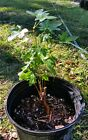 Red maple pre bonsai plant
