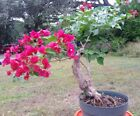 Red bougainvillea flowering pre bonsai 1