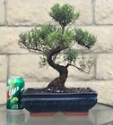 Brush Cherry Bonsai Tree 15 Year Old Flowering Indoor Outdoor 15 Large Plant