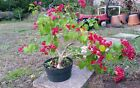 Red bougainvillea flowering pre bonsai 6