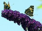 BUTTERFLY BUSH BLACK KNIGHT 102 SEEDS WONDERFULLY SCENTED FLOWERS EZ TO GROW