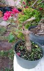 Red bougainvillea flowering pre bonsai 5