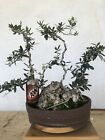Olive draft Bonsai specimen   massive Gnarly base