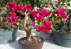 Red bougainvillea flowering bonsai 1