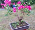 Red bougainvillea flowering pre bonsai 4