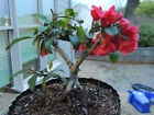 Chinese Quince Bonsai very Nice