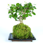 Bonsai Kokedama 20cm 7 Year Old Live House Plant With Moss Ball