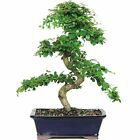 Large Tea Bonsai Tree Indoor Plant Decoration Live Real Japanese Garden Decor US