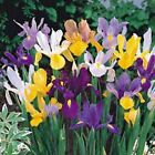 3 Iris Bulb Dutch Mix Perennial Iris Bulbs Flowers Multiply Rapidly Sapphire
