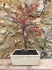 Bonsai rable Du Japon Deshojo Rouge Red