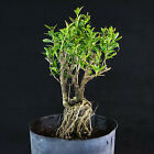 Serissa Foetida Japonica Pre Bonsai Material Tree of a Thousand Stars  2772