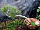 Large Collected 100 Yr Old Plus Ponderosa Pine Bonsai