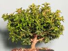 Pre Bonsai Tree large dwarf kingsville boxwood