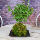 Bonsai Kokedama 7 Years Old Live Indoor House Plant With Moss Ball And Tray 25