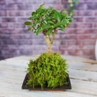 Bonsai Kokedama 7 Years Old Live Indoor House Plant With Moss Ball And Tray 20