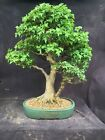 Japanese Imported Bonsai Trident Maple