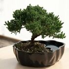 Bonsai Tree Plant Potted Juniper Dwarf Beginner Indoor Ornamental Home Decor NEW