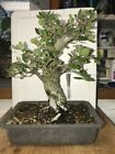 Dwarf Shohin Mame Japanese Cork Bark Oak Bonsai tree corkbark corking very old