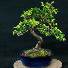 Chinese Elm Kifu Bonsai Tree Ulmus parvifolia  4451