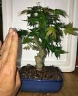 Bonsai Japanese Maple Osakazuki great movement 21 years shohin mame