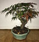 Bonsai rare red  green lace leaf Japanese maple 11 years old shohin mame nr