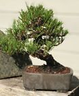 Bonsai dwarf Japanese Black Pine great movement 43 years old shohin mame show ++