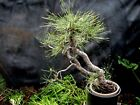 Large Collected 100 Yr Old Plus Jeffrey Pine Bonsai