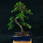 Chinese Elm Kifu Bonsai Tree Ulmus parvifolia  4981