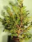 Pre Bonsai Tree Hinoki Cypress