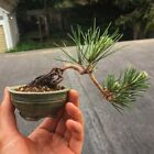 Japanese Black Pine Bonsai Semi Cascade 3 y o + hand made pot