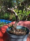 Collected buttonwood Conocarpus erectus with deadwood and great movement 1