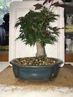 Bonsai Japanese Maple ICHIGYOJI great movement 22 years shohin mame