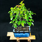 Sageretia Theezans Mame Shohin Bonsai Tree Bird Plum  4324