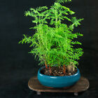 Chinese Dawn Redwood Shohin Bonsai Tree Metasequoia glyptostroboides  5669