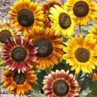 USA Autumn Beauty Sunflower Mix 50 400 seeds Organic