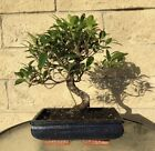 Ficus Bonsai Tree 15 Year Old Indoor Outdoor S Shaped Curved Plant Large Big