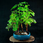 Chinese Dawn Redwood Shohin Bonsai Tree Metasequoia glyptostroboides  5883