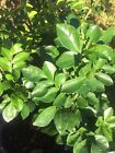 Orange Jasmine Nguyet Que Tree 1 2 Feet High In 3 Gallons Container