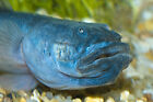 Blue Pinoy Angelfish 2 inches live fresh water aquarium fish Care Level Easy