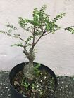 Cork Bark Elm Ulmus Neri Pre Bonsai Tree 10 Inches High
