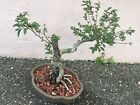 Chinese Elm Ulmus Parviflora Pre Bonsai Tree 10 Inches High