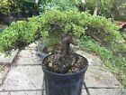 Large Trunk Juniper Pre Bonsai procumbens nana 1