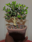 Japanese Boxwood Bonsai Mame Size