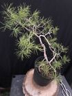 Scots Pine Bonsai Tree Pinus Sylvestris