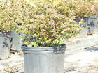 Satsuki Azalea Bonsai 3 GALON SIZE seeds imported directly from Japan