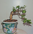 Gorgious Dwarf JADE Bonsai Cascade Style Pot is included