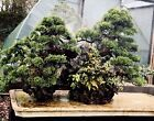 Japanese Imported Bonsai Junipers On Rock