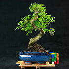 Chinese Privet Shohin Bonsai Tree Ligustrum Sinense  5609